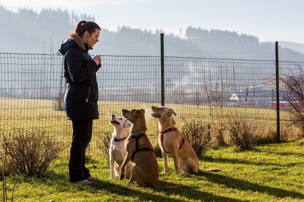 woman training 3 dogs
